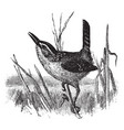 marsh wren vintage vector image vector image