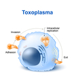 toxoplasma vector image vector image