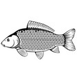 common carp black and white vector image vector image