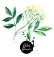 watercolor hand drawn elder flower painted vector image vector image