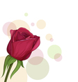 burgundy roses vector image