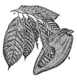 cacao fruit and leaves vintage vector image vector image