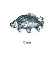 carp fish sketch in drawn vector image