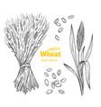 wheat hand drawn vector image vector image