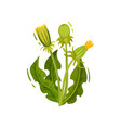 flowering dandelion with three closed heads and vector image vector image