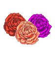 three beautiful rose flower buds isolated on vector image