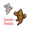 jerusalem artichoke or topinambour vegetable vector image vector image