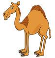 dromedary camel cartoon animal character vector image