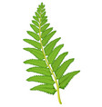 Fern leaf on white background vector image