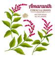 amaranth plant set on color background vector image vector image