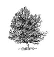 cartoon drawing of pine conifer tree vector image vector image