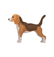 cute beagle puppy standing in rack side view vector image