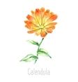 Watercolor calendula herbs vector image