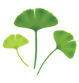 Leaves of ginkgo biloba on white background