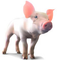 piglet on white background vector image