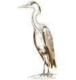 engraving of great blue heron vector image