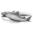 great white shark vintage vector image vector image