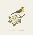 willow warbler on a branch vector image