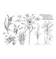 sugar canes hand drawn set vector image