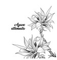 agave attenuata with title hand drawn vector image