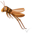 a brown grasshopper jumping vector image