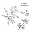 medicinal and kitchen plant almond prunus dulcis vector image vector image