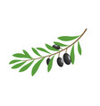 olive branch tree isolated leaf olive food green vector image vector image