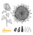 sunflower hand drawn vector image vector image