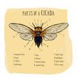 part cicada hand draw sketch vector image vector image