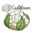 cauliflower drawing icon vector image vector image