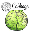 cabbage drawing icon vector image