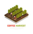 coffee harvest isometric background vector image vector image