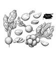 radish hand drawn set vector image vector image