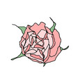 pink rose top view isolated on white background vector image
