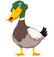duck on white background vector image