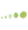 lemon tree growth stages vector image vector image