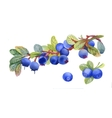Watercolor blueberry on white background vector image