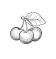 cherry branch hand drawn berry fesh fruit retro vector image
