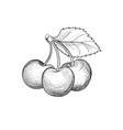 cherry branch hand drawn berry fesh fruit retro vector image