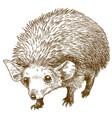 engraving drawing of long eared hedgehog vector image vector image
