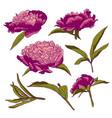 peony flowers llustration set vector image