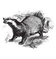 european badger vintage vector image vector image