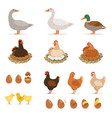 chicken brood hen ducks and other farm birds and vector image vector image