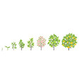 pear tree growth stages vector image vector image