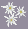 edelweiss flowers white flowers vector image vector image