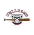 logo bulldog with a baseball bat in teeth vector image