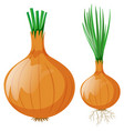 onion with leaves and roots vector image vector image