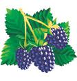 blackberries vector image vector image