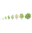 blue plum tree growth stages vector image vector image