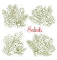 sketch salads and farm lettuces vegetables vector image vector image